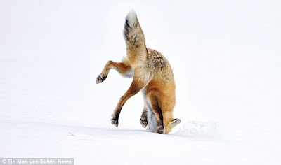 TheJungleStore.com Blog | Red Fox In Snow