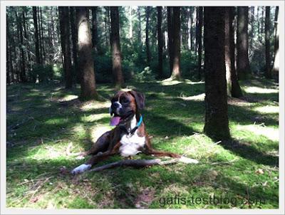 Boxer Amy macht Rast im Wald