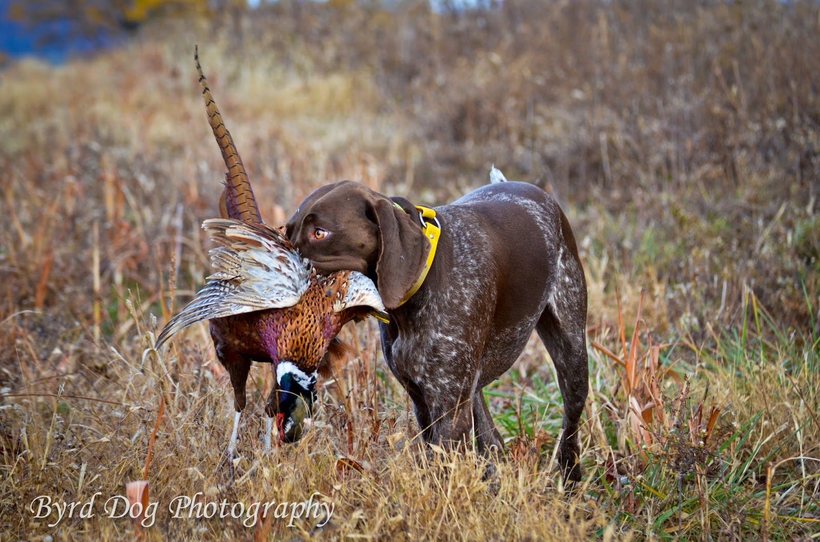 Adventures of a GSP Hunting Dog: First Pheasant Hunt of ...