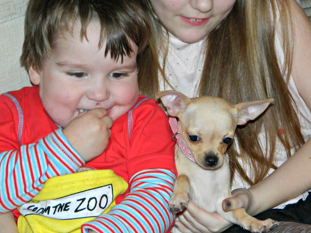 Small Boy Toddler Chihuahua Puppy