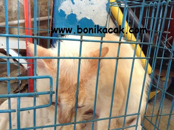kucing mandi, bagi kucing mandi, mandikan kucing, memandikan kucing, syampu kucing, kucing, si comel,
