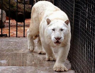 Un tigre albino