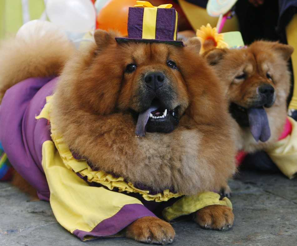 Funny chow chow dogs dressed up new 2013 pictures funny and cute animals - Images of chow chow puppies ...