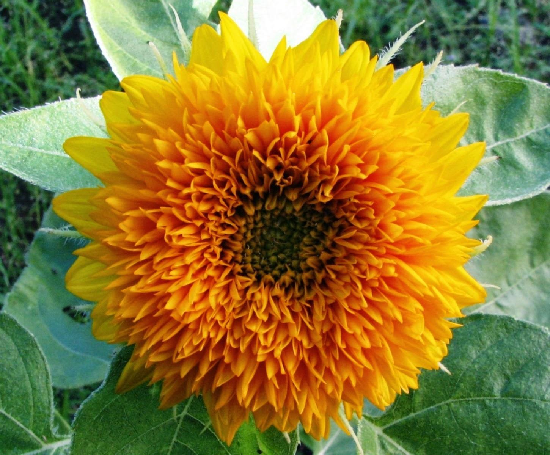 Macam Dan Jenis Bunga Matahari Manfaat Di Dalam Keindahan Bunga