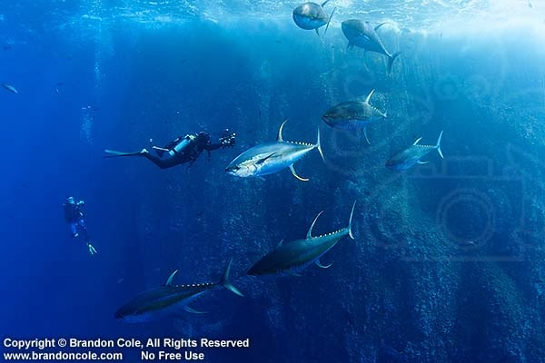 scuba diving with yellow fin tuna, photo made in Las Islas Revillagigedos
