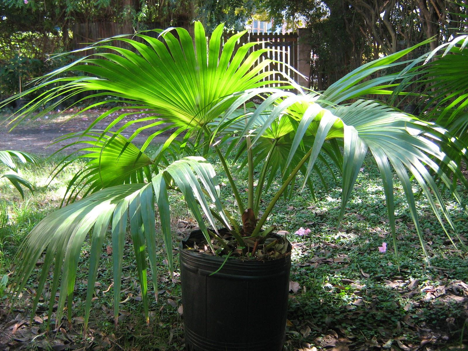 Palmeras abanico livistona plantas de tigre for Palmeras de interior