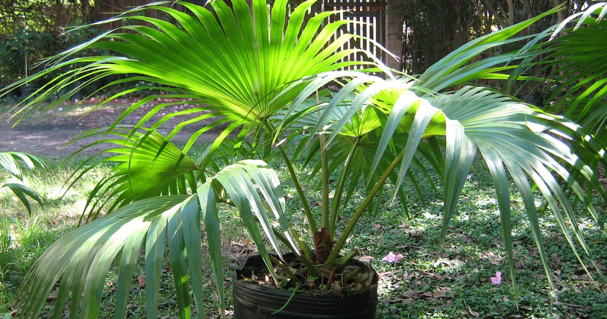 Plantas de tigre palmeras abanico livistona - Plantas de exterior de sombra ...
