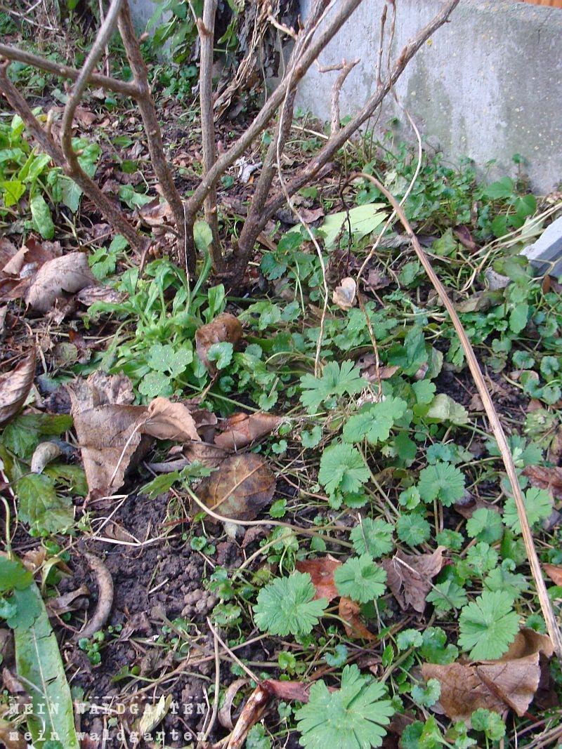 Mein Pflegeleichter Garten : Mein Waldgarten Pflegeleichter Garten, Neuzugänge und Unkraut