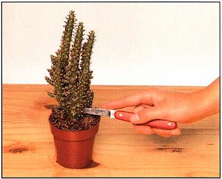 Кактусы и листовые суккуленты легко вырастить из черенков