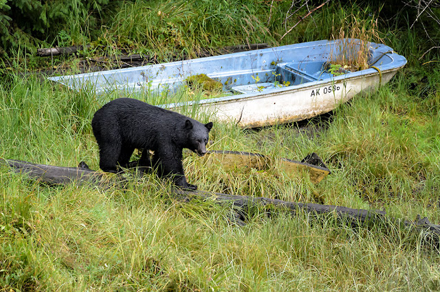 Black Bear in Ketchikan, Alaska