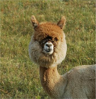 Llamas With Afros Alpacas vs. Lla...