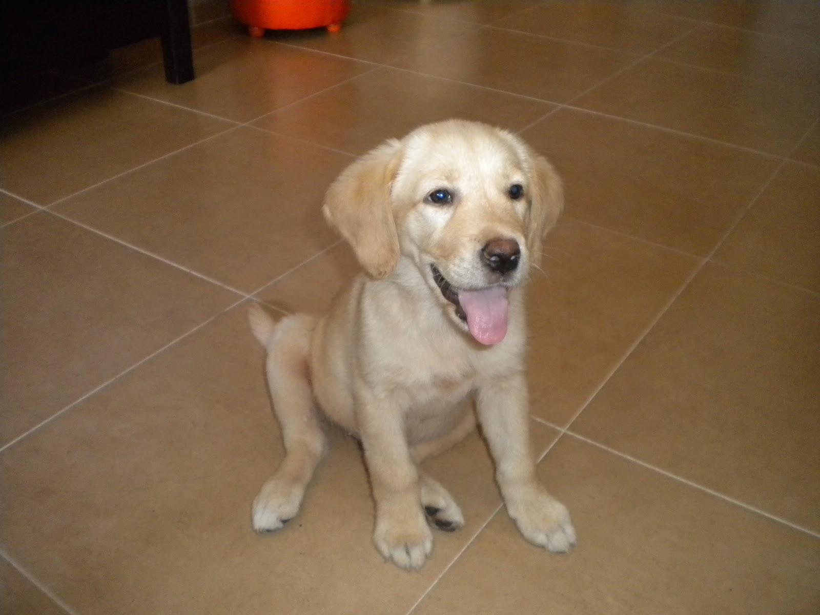 Perro labrador cachorro 3 meses