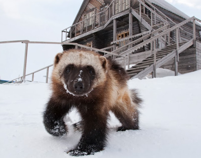 Funny animals of the week - 20 December 2013 (40 pics), cute wolverine in the snow