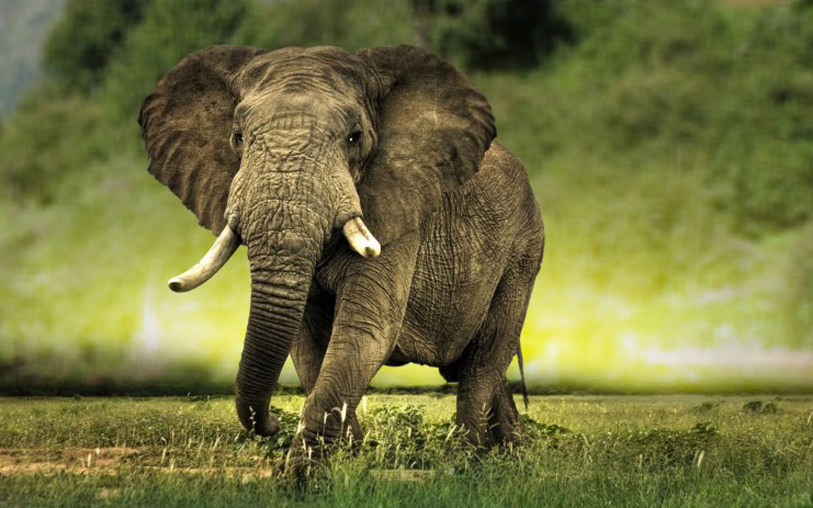 wallpapers african elephant wallpapers