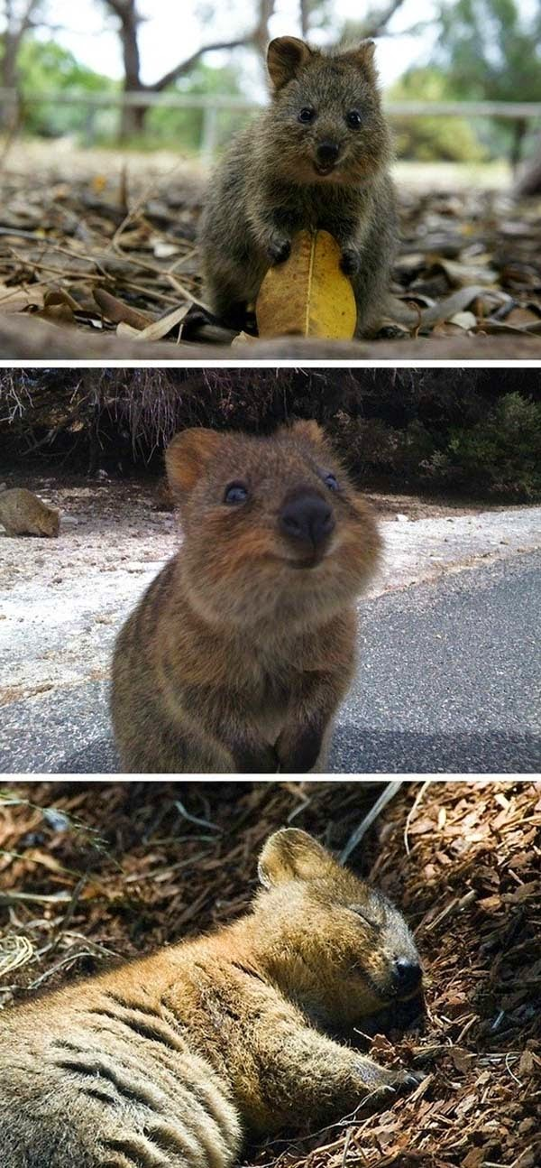 Here Are 24 Awesome Things You Didn't Know About Animals. #11 Just Made My Week. - Quokkas may be the happiest animals on the planet