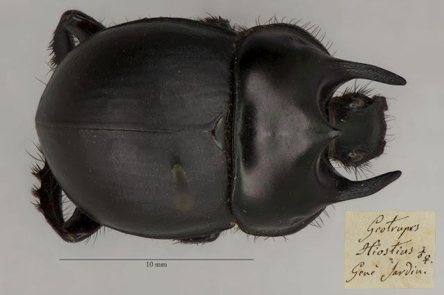 Coleoptera, type, Chelotrupes hiostius, OUMNH, Gené, Sardinia