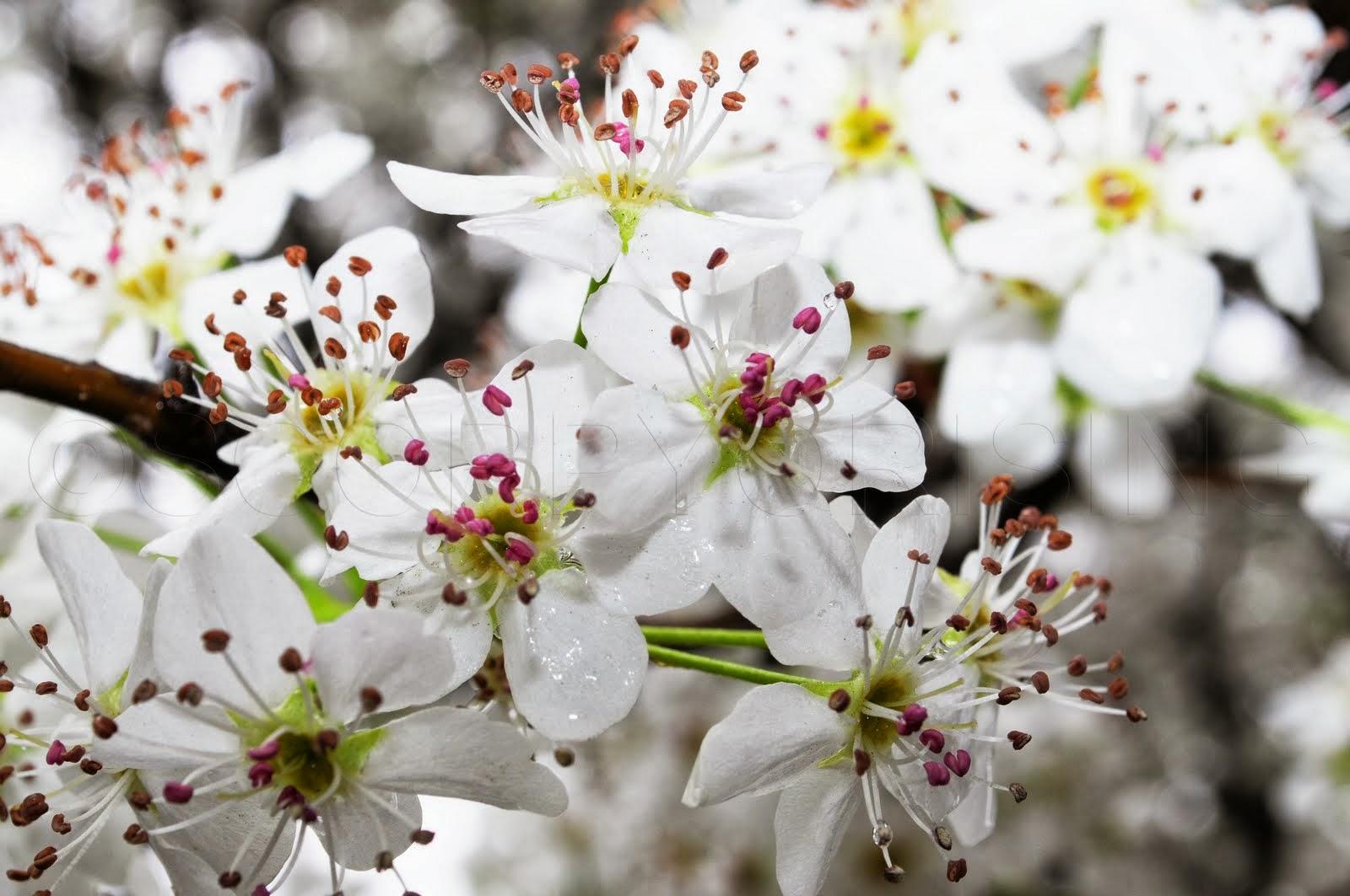 Romantic Flowers: Pear Blossom