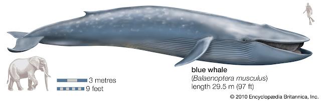 Ballena azul y biologia