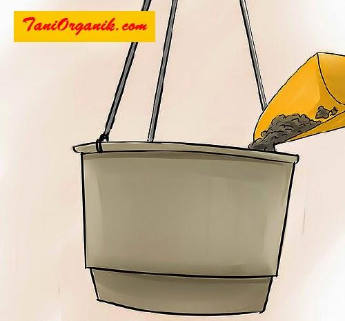 Mengisi wadah dengan media tanam: kombinasi tanah dan kompos.