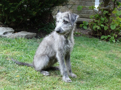 Whippet Puppy Pictures