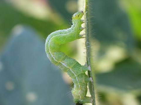How to control Looper Caterpillars in your garden