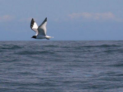 Oregon sea birds: Sabine's Gull