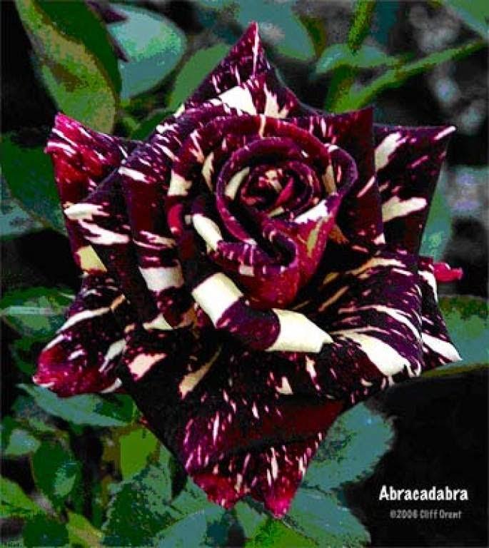 15 Most Beautiful Black Flowers: حقائق مذهلة: لمحبى الازهار والورود ..شاهد بالصور ..اجمل