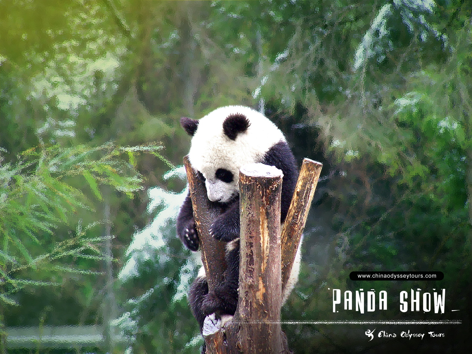Beautiful Wallpapers: panda bear wallpaper: world-beautifulwallpapers.blogspot.com/2013/06/panda-bear-wallpaper...