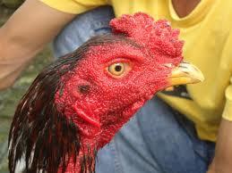 Cara merawat ayam aduan yang paruhnya somplak