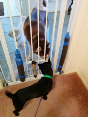 We use a puppy gate to do a slow introduction between our dogs and a new foster dog