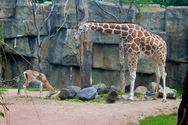 Gazelle and giraffe. Tammy Sue Allen Photography - Lincoln Park Zoo, Chicago.