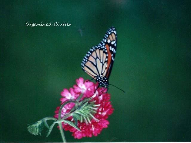 Butterfly on a verbena blossom