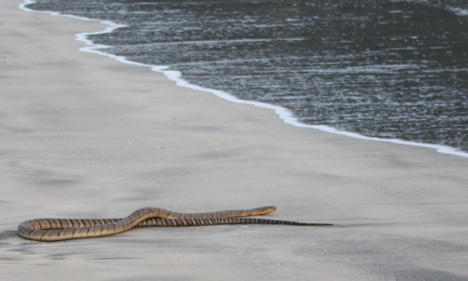 Beasts of hong kong two big snakes when i saw one on a beach on lantau it was so fat i thought it must be a python there was no tell tale hood just a long thick body sparkling in buycottarizona Gallery