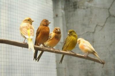 Daftar Lengkap Harga Burung Kenari Terbaru Bulan Februari 2014 - Usaha ternak
