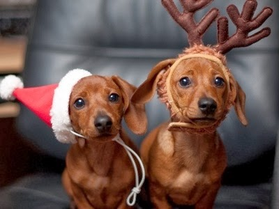 Cutest Dog Christmas Photos, daschund reindeer