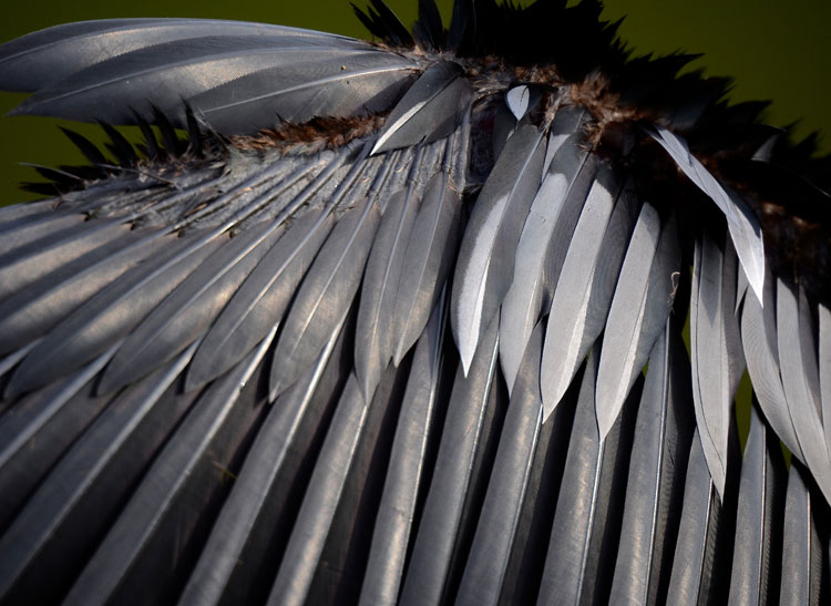 Closeup of an Anhinga's feathers.