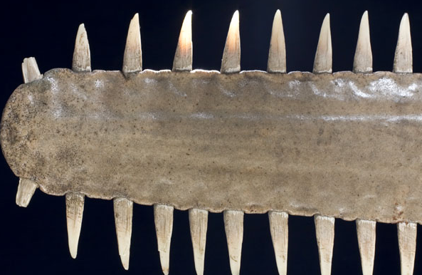 Pedang Ikan hiu todak