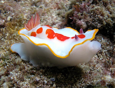 Chromodoris splendida