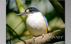 ケアンズで出会った野鳥(Bird of Cairns)