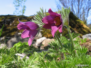 Backsippa Pulsatilla vulgaris