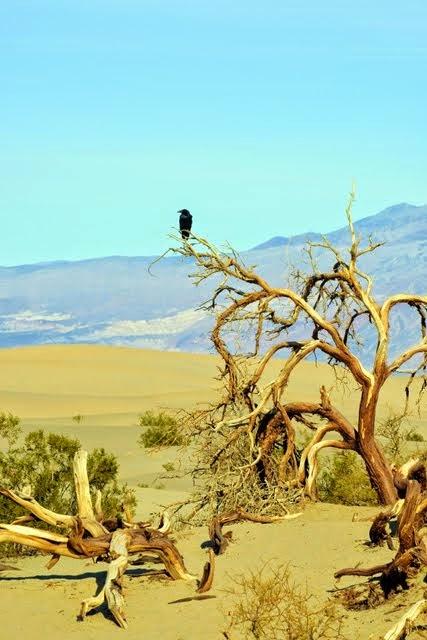 Mesquite Dunes Raven 041