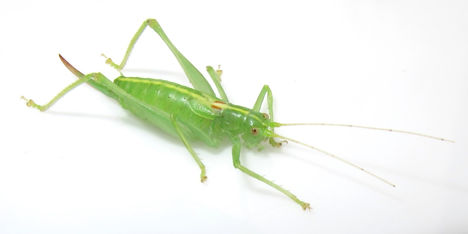 cricket bug