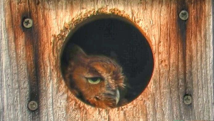 Eastern Screech Owls in Nest Box