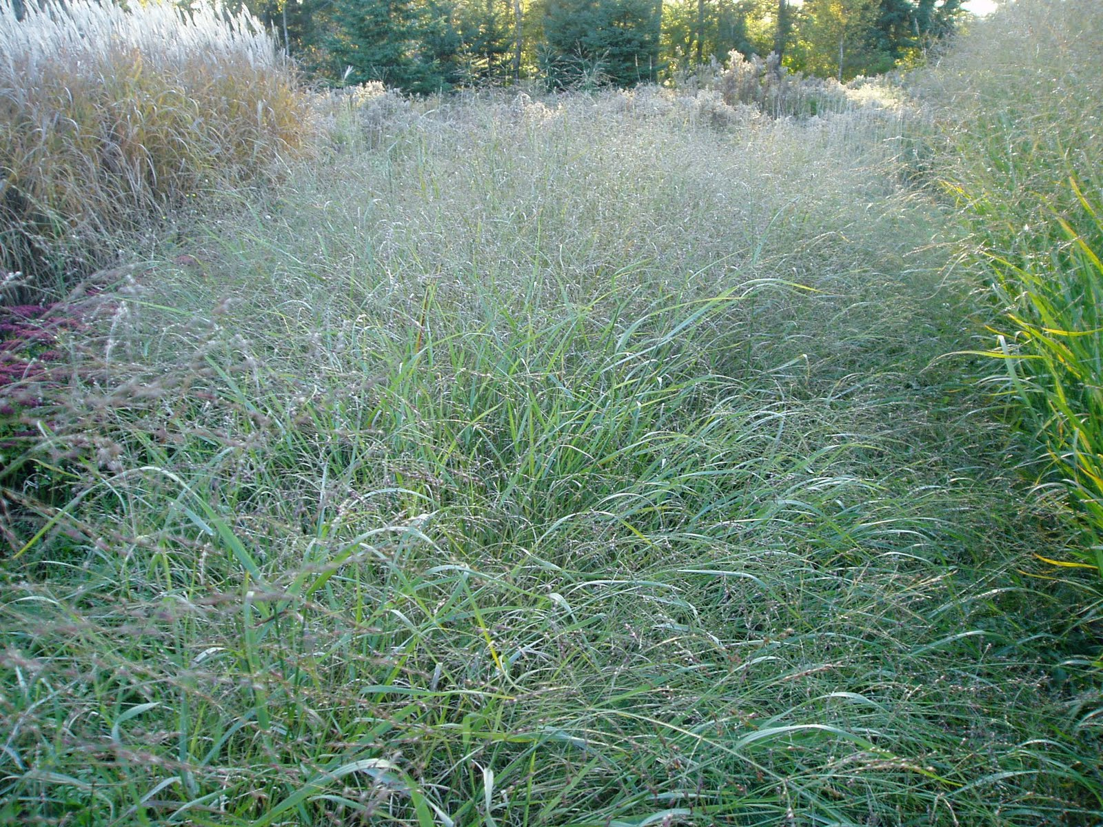 Lovegrass farm panicum virgatum ornamental grass at for Ornamental prairie grass