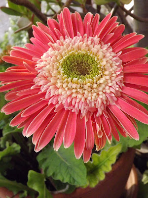 Pink Gerbera daisy in a red clay pot.
