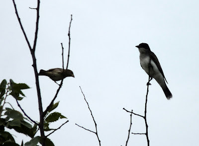 sparrow and kingbird