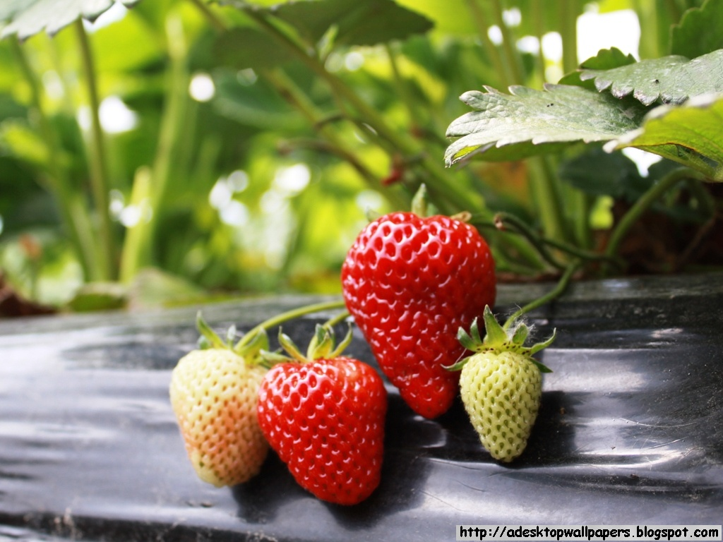 fruit strawberries 4 - photo #22