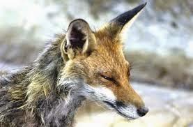 ΚΑΣΤΟΡΙΑ:Ενεργητική και Παθητική επιτήρηση της λύσσας.  Υπηρεσίες Κτηνιάτρων