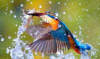 Pássaro Martim Pescador pescando um Peixe