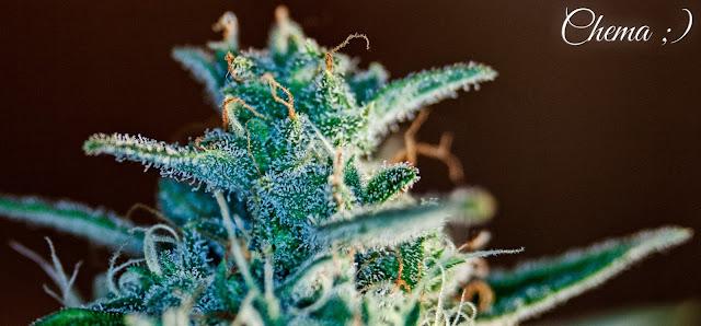 Detalle de un cogollo de cannabis maduro